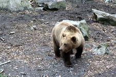 Free Brown Bear Walking Royalty Free Stock Photo - 1664045