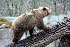 Brown Bear Walking Up A Trunk, Skansen Park, Stockholm Stock Images