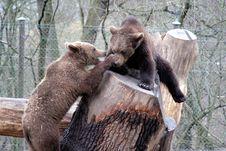 Brown Bears Playing, Skansen Park, Stockholm Stock Photos