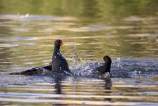 Free Fighting Moorhens Royalty Free Stock Photography - 1664747