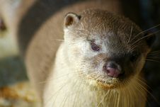 Free Close Up Of River Otter Royalty Free Stock Photos - 1664788