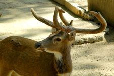 Free Deer Royalty Free Stock Photography - 1664887