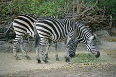Free Zebra 4 Stock Photography - 1665092