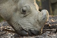 Free Rhinoceros Royalty Free Stock Photo - 1665465