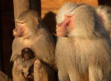 Free Monkey Family Royalty Free Stock Images - 1665529