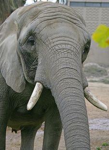 Free Elephant 10 Royalty Free Stock Photography - 1665637