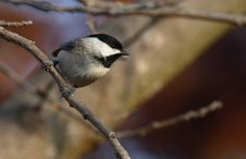 Free Black Capped Chickadee Royalty Free Stock Images - 1665909