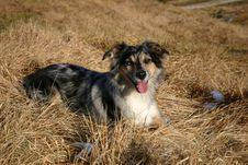 Free Australian Shepherd Stock Image - 1667951