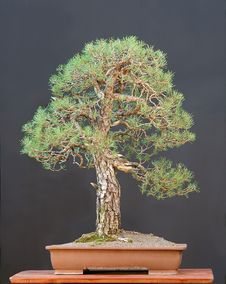 Free Scots Pine Bonsai Royalty Free Stock Photography - 1668377