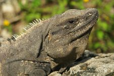 Free Iguana Royalty Free Stock Image - 1668426