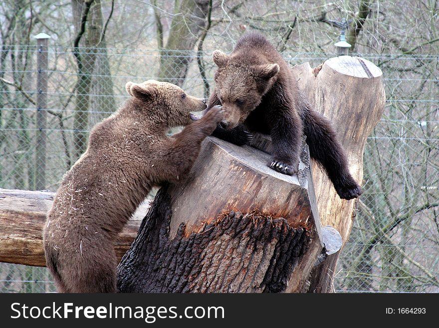 Brown bears playing, Skansen Park, Stockholm