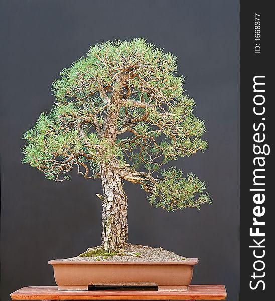 Scots Pine Bonsai Free Stock Images Photos 1668377 Stockfreeimages Com