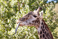 Free Giraffe With Tongue Out Stock Photography - 16600962