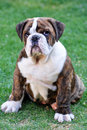 Free English Bulldog Puppy Royalty Free Stock Photography - 16603317