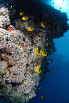 Free Colourful Tropical Reef With Butterfly Fish Royalty Free Stock Photography - 16600067