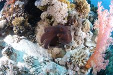 Free Common Reef Octopus Stock Image - 16600841