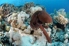 Free Common Reef Octopus Stock Image - 16600901