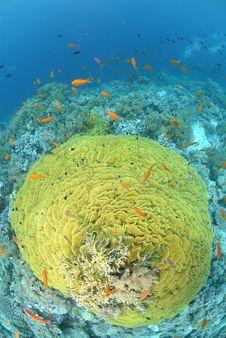 Free Pristine Salad Coral Royalty Free Stock Photos - 16600948