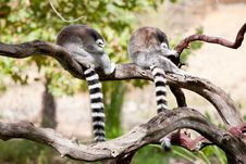 Free Two Ring-tailed Lemurs Taking A Nap Stock Photos - 16600993