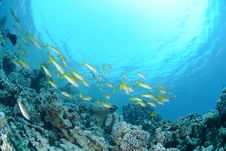 Free Small School Of Red Sea Goatfish Stock Image - 16601151