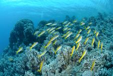 Free Small School Of Red Sea Goatfish Stock Photo - 16601160