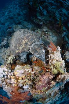 Free One Male Hawksbill Turtle Stock Image - 16601561