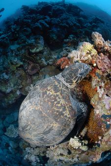 Free One Male Hawksbill Turtle Stock Photography - 16601572