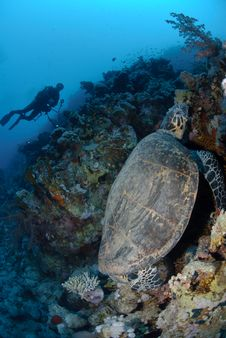 Free One Male Hawksbill Turtle Royalty Free Stock Photo - 16601585