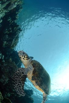 Free One Male Hawksbill Turtle Royalty Free Stock Images - 16601629