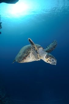 Free One Male Hawksbill Turtle Stock Photography - 16601662