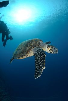 Free One Male Hawksbill Turtle Stock Image - 16601671