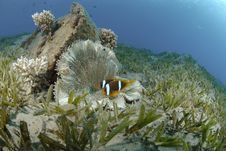 Free Red Sea Anemonefish Royalty Free Stock Images - 16601699
