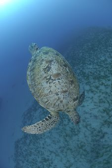Green Sea Turtle Swimming Dow The The Ocean Floor Stock Photos