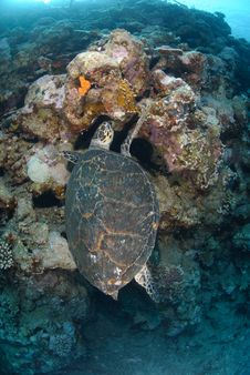 Free One Male Hawksbill Turtle Stock Photos - 16601733