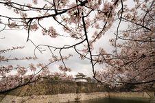 Pink Sakura Flowers In Osaka, Japan Royalty Free Stock Images