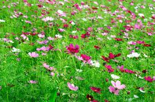 Free A Sea Of Flowers Royalty Free Stock Image - 16604556
