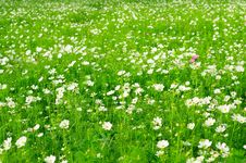 Free A Sea Of Flowers Stock Photos - 16604563