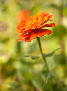 Free Lovely Orange Zinnia Stock Images - 16605604