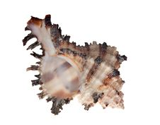Free Isolated Shellfish With Brown Strips Royalty Free Stock Photo - 16606405