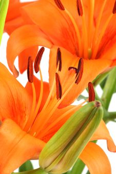 Free Lily Royalty Free Stock Image - 16607186