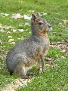 Free Patagonian  Hare (Mara) Royalty Free Stock Photos - 16607528