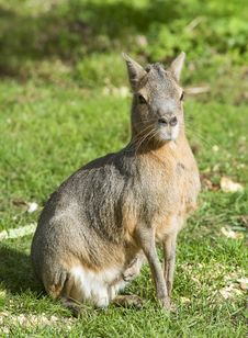 Free Patagonian  Hare (Mara) Stock Photography - 16607802