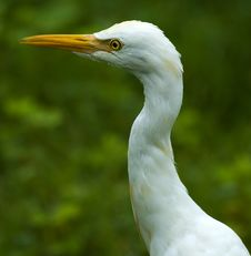 Free Closeup Of Indian Cattle Egret Stock Image - 16607991