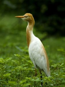 Free Closeup Of Indian Cattle Egret Stock Photo - 16608030