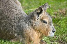 Free Patagonian  Hare (Mara) Royalty Free Stock Image - 16608166
