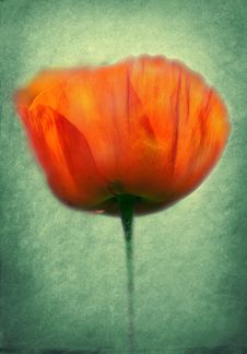 Free Poppy Pasted On A Grunge Background Royalty Free Stock Photography - 16608267