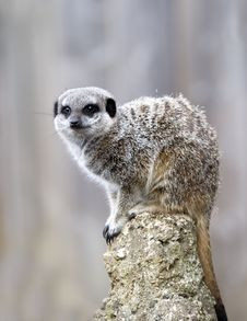 Free Close Up Of A Meerkat On A Post Royalty Free Stock Photo - 16608785