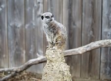Free Close Up Of A Meerkat On A Post Stock Images - 16608814