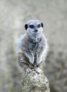 Free Close Up Of A Meerkat On A Post Royalty Free Stock Images - 16608849