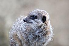 Close Up Of A Meerkat Royalty Free Stock Photos
